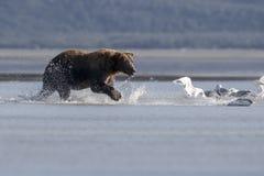 北美灰熊和股三文鱼 库存照片