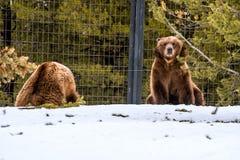 北美灰熊在与雪生活styleeat戏剧冷颤的冬天 免版税库存照片