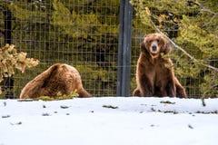 北美灰熊在与雪生活styleeat戏剧冷颤的冬天 库存图片