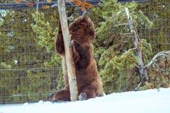 北美灰熊在与雪生活styleeat戏剧冷颤的冬天 图库摄影