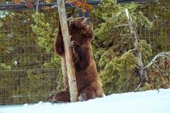 北美灰熊在与雪生活styleeat戏剧冷颤的冬天 免版税库存图片