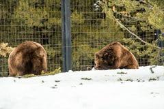 北美灰熊在与雪生活styleeat戏剧冷颤的冬天 免版税图库摄影