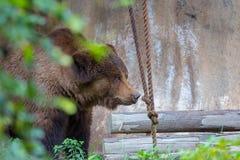 北美灰熊在台北ZooTaipei 免版税库存图片