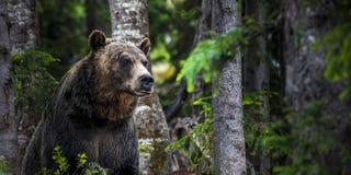 北美灰熊在森林 库存照片