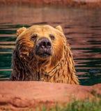 北美灰熊在池塘水中带着被聚焦的凝视 库存图片