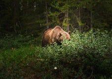 北美灰熊在班夫国家公园里面的莓果吃草 库存图片