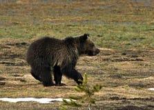 北美灰熊在草甸跑 免版税库存图片