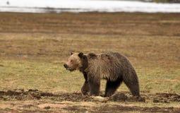 北美灰熊在草甸 免版税库存图片