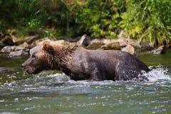 北美灰熊在阿拉斯加河 库存图片