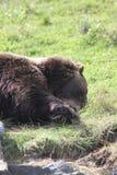 北美灰熊在阿拉斯加野生生物保护中心 库存照片