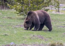 北美灰熊在黄石国家公园西方拇指区段发现根吃  库存图片