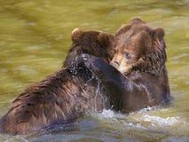 北美灰熊在水中 免版税库存照片