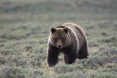 北美灰熊在黄石国家公园 库存图片