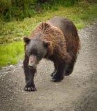 北美灰熊在Denali国家公园 库存照片