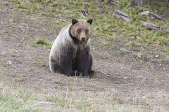 年轻北美灰熊坐草 图库摄影