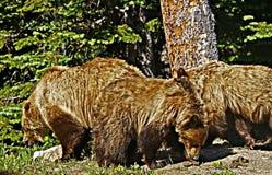 北美灰熊家庭 库存照片