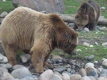 北美灰熊对 库存照片