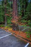 北美灰熊小河红木国家公园颜色 免版税库存图片