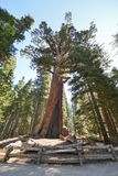 北美灰熊巨型美国加州红杉在Mariposa树丛,优胜美地里 免版税库存图片