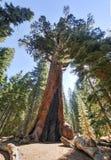 北美灰熊巨型美国加州红杉在Mariposa树丛,优胜美地里 免版税库存照片