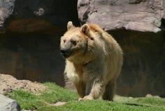北美灰熊年轻人 免版税库存图片