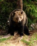 北美灰熊抓 免版税图库摄影