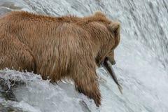 北美灰熊捉住一条三文鱼在瀑布顶部-溪秋天-阿拉斯加 免版税库存图片