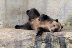 北美灰熊摆在 免版税库存照片