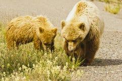 北美灰熊母猪和崽 免版税图库摄影