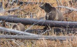 北美灰熊母猪和Cub 免版税图库摄影
