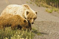 北美灰熊母猪和Cub 免版税库存图片