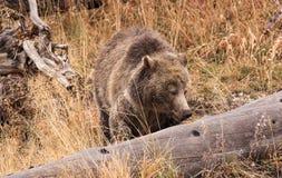 北美灰熊母猪搜寻 库存照片