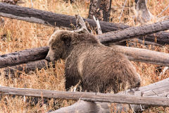 北美灰熊母猪 免版税库存照片