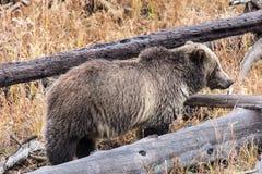 北美灰熊母猪 免版税库存图片