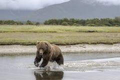 北美灰熊每在抓住前的秒钟 免版税库存图片