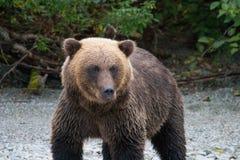 北美灰熊涉及海岸线 图库摄影