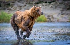 北美灰熊涉及追逐 免版税图库摄影