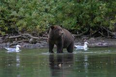 北美灰熊渔在阿拉斯加的湖 库存照片