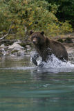 北美灰熊渔在阿拉斯加的湖 库存图片