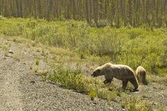 北美灰熊的母猪和吃草她的崽 免版税库存照片