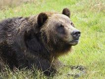 北美灰熊的特写镜头 免版税库存照片