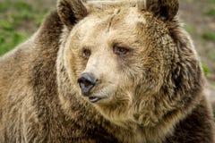 北美灰熊的面孔 免版税库存照片