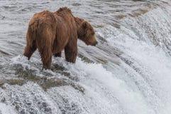 北美灰熊等待的三文鱼 免版税库存图片