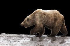 北美灰熊背景 免版税图库摄影