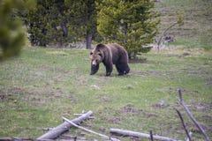 北美灰熊通过黄石地形漫步作为食物链的毫无疑问的上面 库存照片