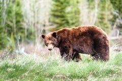 北美灰熊遭遇3 免版税库存图片