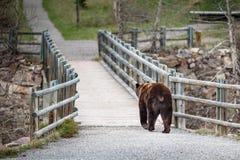 北美灰熊遭遇4 免版税库存照片