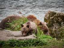 北美灰熊采取饮料的母亲熊和崽在海恩斯阿拉斯加附近 免版税库存图片