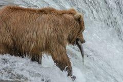 北美灰熊顺利地捉住一条三文鱼-溪秋天-阿拉斯加 图库摄影