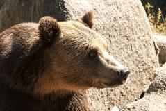 北美灰熊题头权利配置文件 库存图片